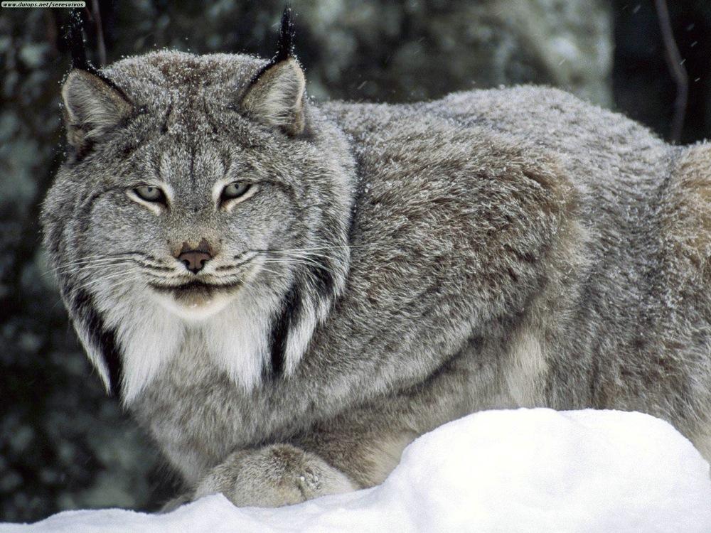 Canadian lynx jpg 2 2e8qx7n