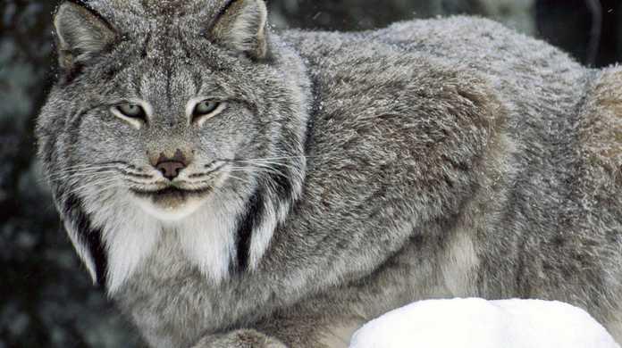 Macの次期OSの名前は「OS X Lynx」か?